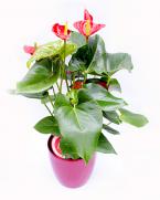 Anthurium - plante benefice care purifica aerul