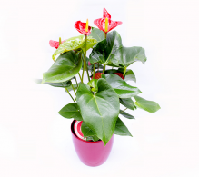 Anthurium - plante benefice care purifica aerul