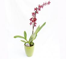 Orhidee cambria pret