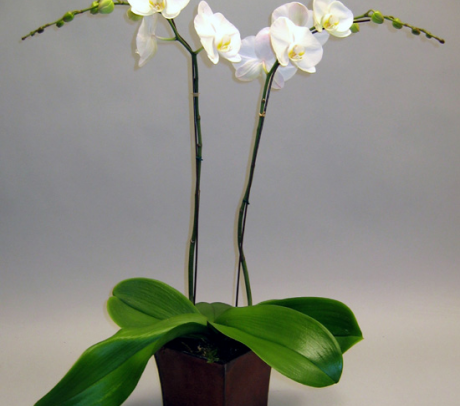 Orhidee Phalaenopsis inmultire