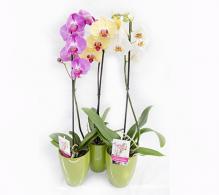 Orhidee phalaenopsis plante de apartament cu flori