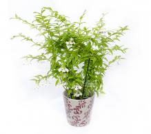 Hoya floarea de ceara pret