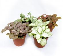 Fitonia plante de interior