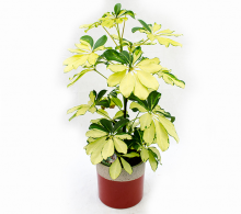 Schefflera plante de interior