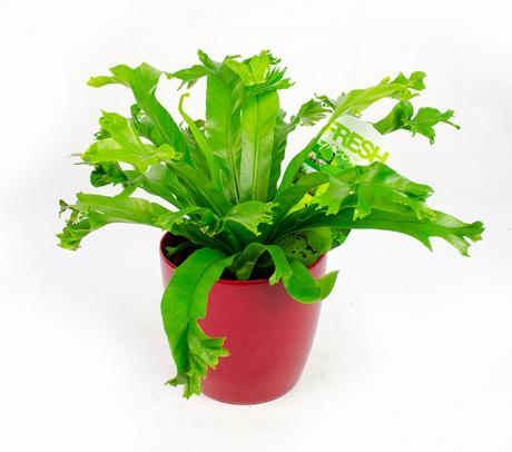 Feriga Asplenium - plante ornamentale de apartament