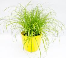 Cyperus zumula de vanzare