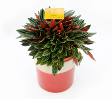 Peperomia caperata planta de apartament