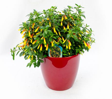 Jacobinia pauciflora (Iacobinia)