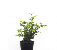 Murraya plante exotice de apartament