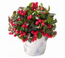 Gaultheria procumbens  - Plante de vanzare