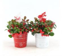 Planta cadou de Craciun (Gaultheria) - Plante de vanzare
