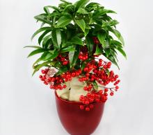 Ardisia in ghiveci ceramic - Plante de Crăciun