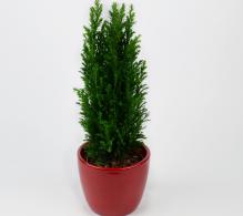 Brad de Craciun - Juniperus stricta