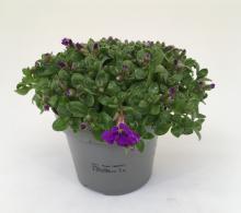 Aubrieta - Plante de stancarie de vanzare