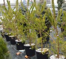 Conifer Pinus densiflora 120  cm