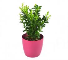 Buxus sempervirens H 20 cm | Buxus pentru gard viu la pret avantajos