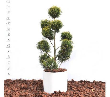 Comanda Cupressocyparis leylandii - bonsai de gradina mini de vanzare pret