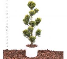 Cupressocyparis leylandii - bonsai de exterior mediu