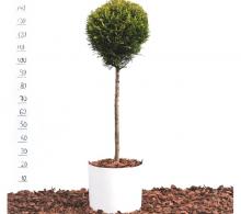 Cupressocyparis leylandii - bila mica pe trunchi | Plante topiare