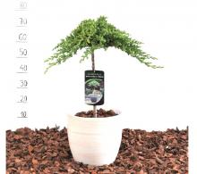 Ienupar altoit pe trunchi - Juniperus procumbens Nana de vanzare