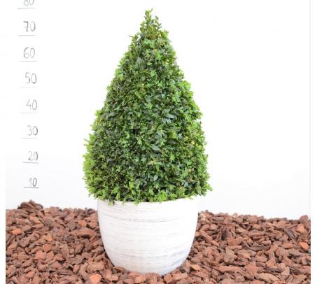 Buxus - piramida 90 cm