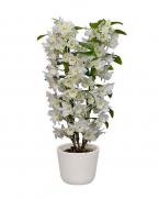 Orhidee Dendrobium (Dendrobium nobile) de vanzare