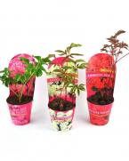 Bujor (Paeonia lactiflora) - Bujori de vanzare, pret avantajos!