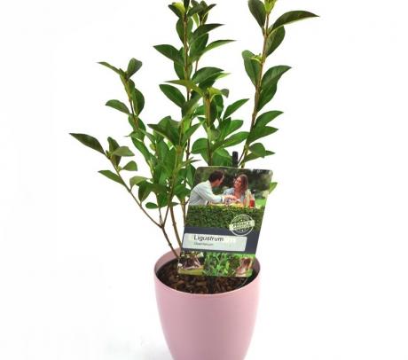 Lemn cainesc pentru gard viu (Ligustrum ovalifolium) de vanzare pret