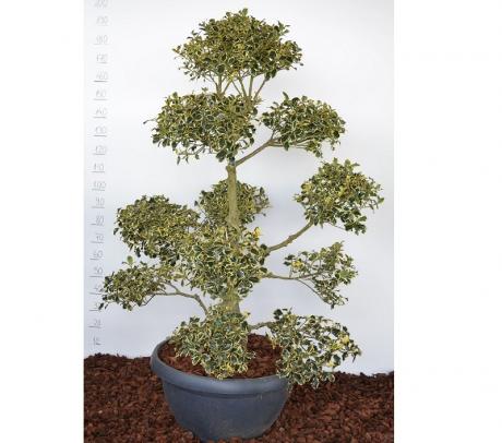 "Bonsai Ilex aquifolium ""Aureomarginata""   Bonsai de exterior"