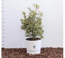 Ilex aquifolium Aureomarginata - de vanzare, pret avantajos