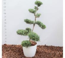 Ienupar bonsai H 120 cm - De vanzare la pret avantajos
