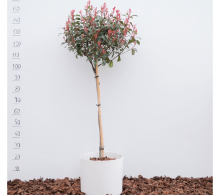 Photinia x fraseri Little Red Robin pe trunchi (medie)