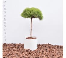 Pinus nigra Brepo - pe trunchi, Conifere de vanzare la pret avantajos