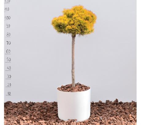 Pinus mugo Wintergold - conifere altoite pe trunchi de vanzare pret