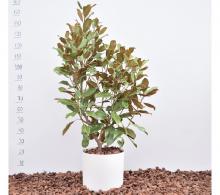 Magnolia grandiflora (magnolie vesnic verde) - de vanzare, pret avantajos