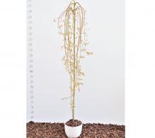 Salcie capreasca, Salix caprea Killmanrock - de vanzare, pret avantajos