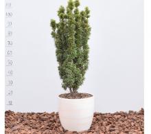 Taxus baccata David (Tisa) - plante de vanzare cu transport gratuit