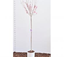 Comanda Prunus × subhirtella `Fukubana` sau cires ornamental pentru a avea o gradina unicata! La noi gasesti cires ornamental de vanzare la cel mai bun pret, cu costul de livrare inclus. Cumpara acum si produsul va ajunge la tine in 3-4 zile lucrato