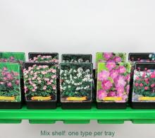 Napraznic, Ciocul berzei (Geranium spp.) - de vanzare la pret special