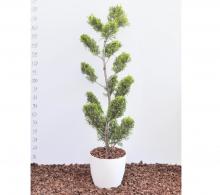 Comanda Leylandii - bonsai de exterior - de vanzare la cel mai bun pret