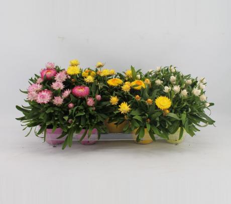 Comanda Flori de pai sau immortele (Helichrysum bracteatum)  de vanzare pret