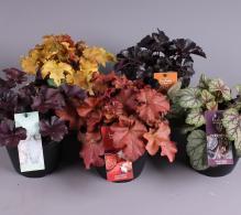 Comanda planta clopotel de gradina sau heuchera ( Heuchera micrantha) de vanzare pret