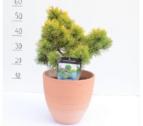 Comanda Pinus mugo `Zundert` sau jneapan -  de vanzare la un pret special