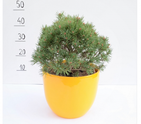 Comanda Pinus sylvestris `Beuvronensis`- pinul scotian - conifere de vanzare pret