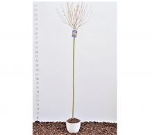 Salcia japoneza, Salix integra Hakuro Nishiki - de vanzare, pret avantajos