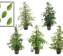 Comanda ficusul benjamin (Ficus benjamina) - plante de interior de vanzare pret