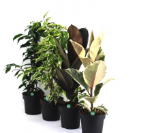 Comanda Ficus mixt H 50 cm - plante de interior de vanzare pret