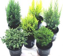Conifere mix H 15-20 cm - de vanzare la pret special - ideale pentru aranjamente