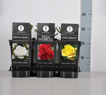 Trandafiri de gradina Rosa floribunda - de vanzare la pret special