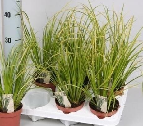 Obligeana (Acorus calamus `Variegatus`) - de vanzare, pret avantajos plante ierboase